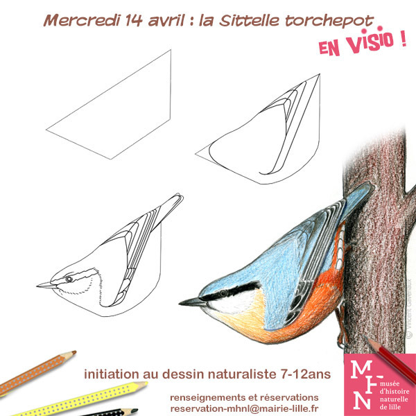 COMPLET / Atelier dessin en visio : La Sittelle Torchepot !