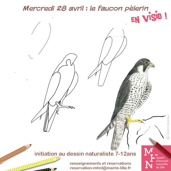 COMPLET / Atelier dessin en visio : Le Faucon pèlerin !