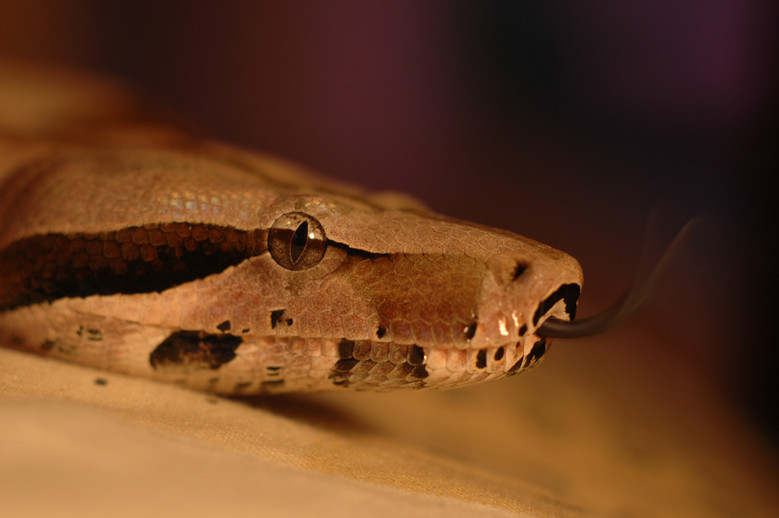 Boa constrictor © Embreus~commonswiki