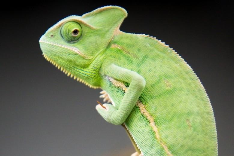 Le caméléon, un reptile haut en couleur - Animal de compagnie