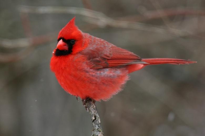 Le Cardinal Rouge Les Animaux Du Zoo Zoo De Lille Www Lille Fr Zoo De Lille