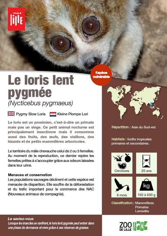Le Loris Lent Pygm 233 E Les Animaux Du Zoo Zoo De Lille
