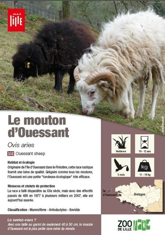Le Mouton D Ouessant Les Animaux Du Zoo Zoo De Lille