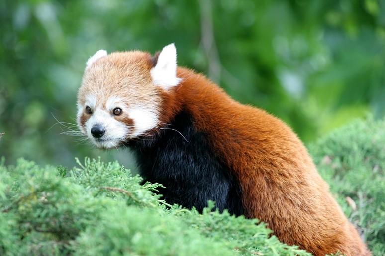 Le panda roux les animaux du zoo zoo de lille - Coloriage magique panda roux ...